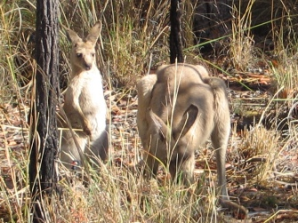 We saw many kangaroos along the way and they love being inmortalised.
