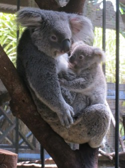 The cute koalas