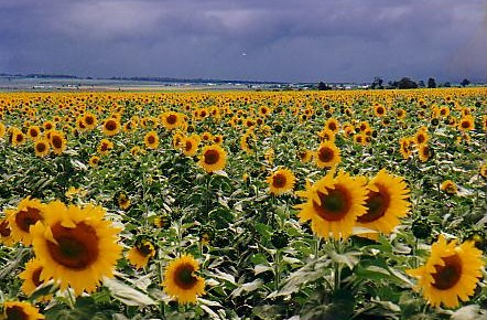 A field of sunflowers in southern Queensland