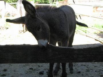Hayden, the young burro.