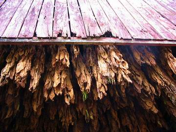 Tobacco hanging in barn, Pleasant Shade, Tennessee. I learnt that tobacco is one of the biggest, if not the biggest, industry in Tennessee and Kentucky.