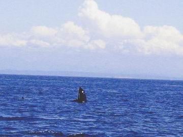 This manouvre is called a spyhop, as the whale has a look around above water. Watching us watching him.
