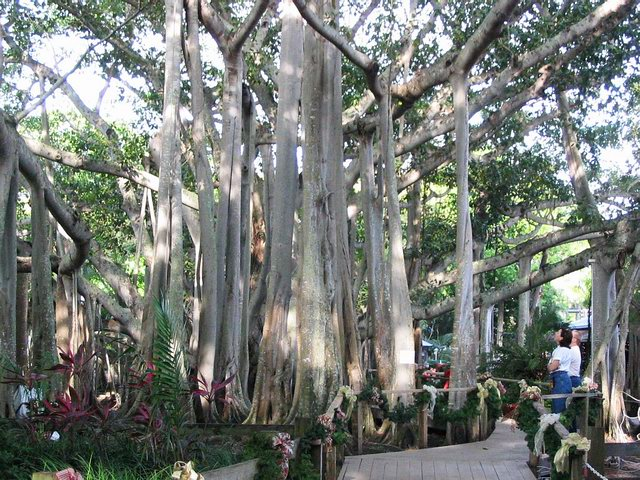 The second largest banyan tree in the world.