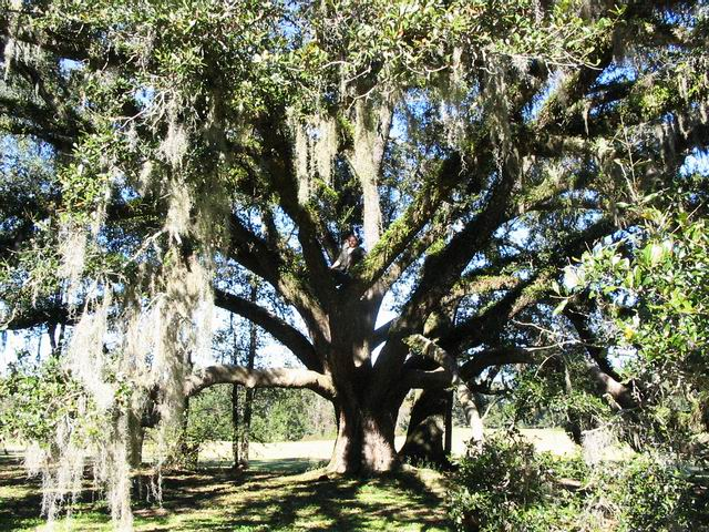 Typical Tallahassee tree, draped with the epiphyte Spanish Moss.