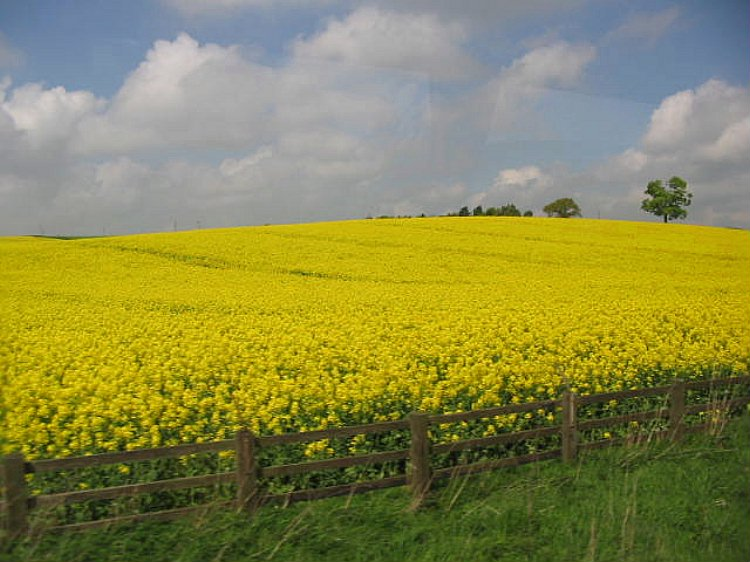 Rapeseed, the yellowest of yellow imaginable.